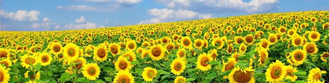 Технологія вирощування соняшника