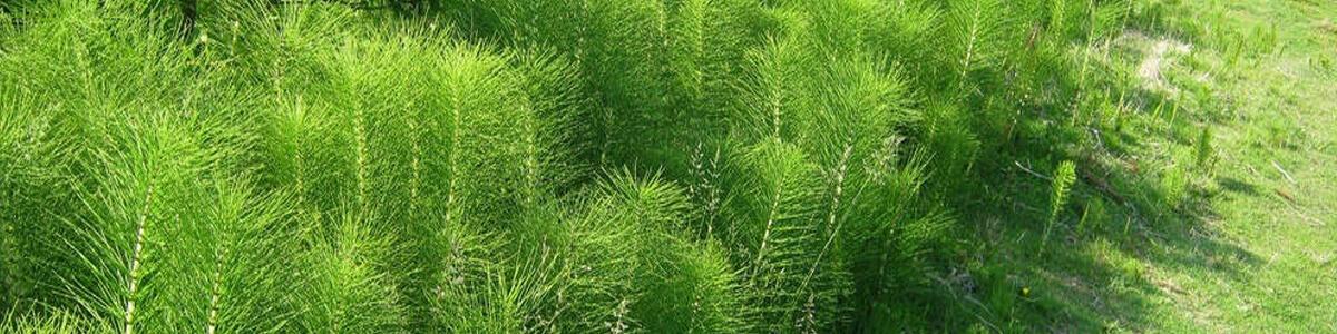 Полевой Хвощ – борьба с сорняком
